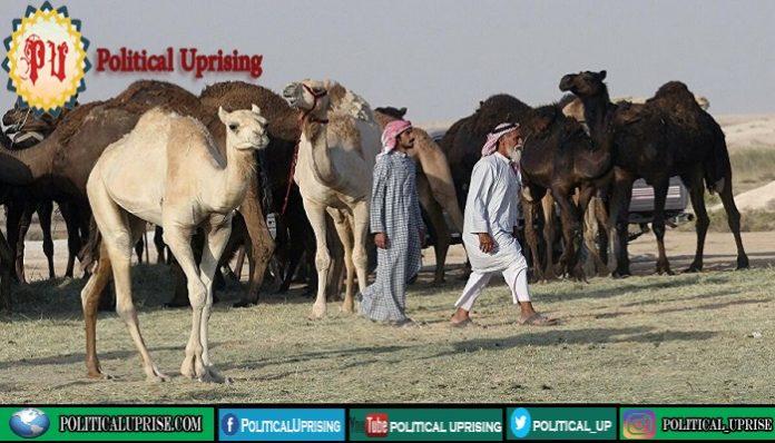 Saudi Arabia to launch world largest camel hospital